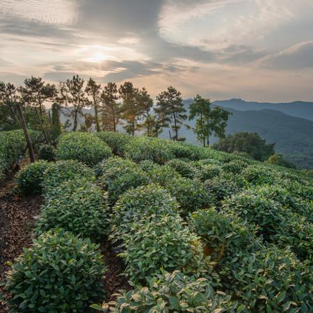 Hangzhou Longjing Tea Plantation 9